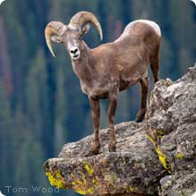 Big Horn Sheep: Tom Wood