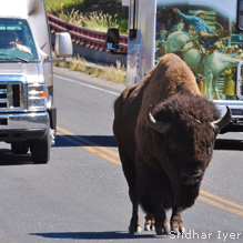 Bison in Traffic: Sridhar Iyer