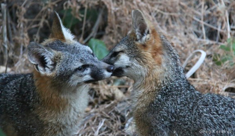 Gray Fox Kisses: Greg Kerekez