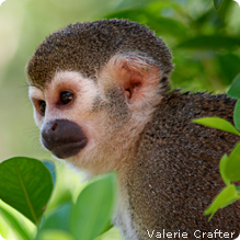 Squirrel Monkey: Valerie Crafter