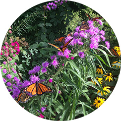 monarch butterfly on wildlflowers