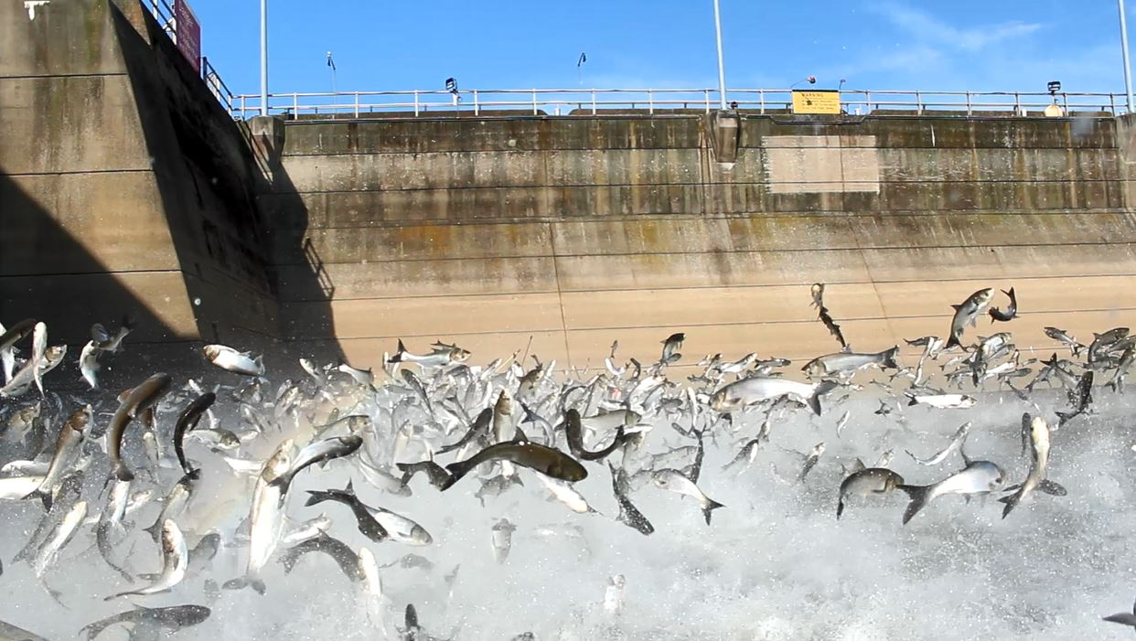 Asian carp jumping at Barkley Dam. Photo courtesy of the Kentucky Department of Fish and Wildlife Resources.