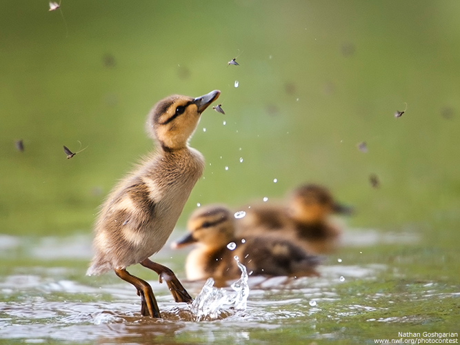 Ducklings by Nathan Goshgarian