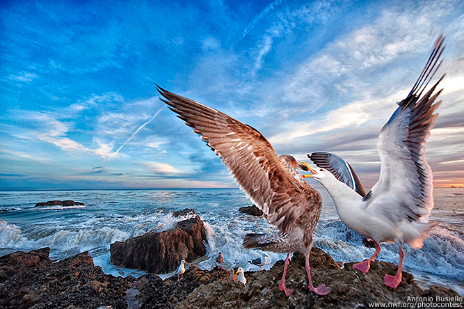 California Gulls by Anthony Busiello
