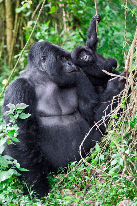 Gorillas by Doug Steakley