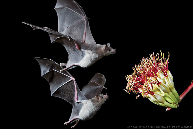 Bats by Sandra Rothenberg