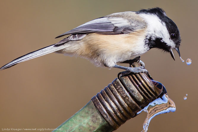 Chickadee by Linda Krueger