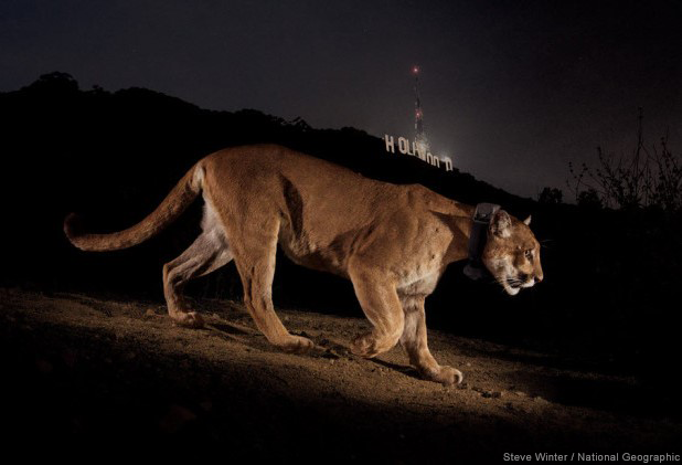 Cougar Crossing Hollywood Sign: Steve Winter