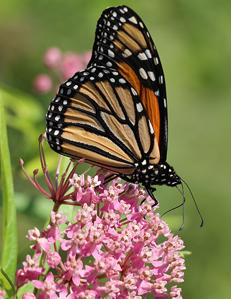 monarch butterfly resting on a milkweed plant