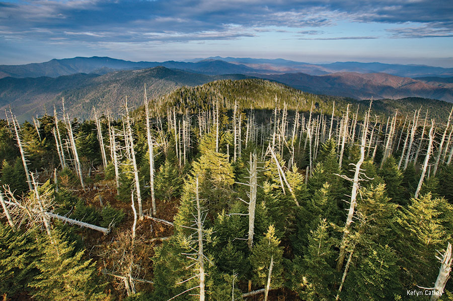 Fraser firs dying from basam woolly adelgid invasive insect