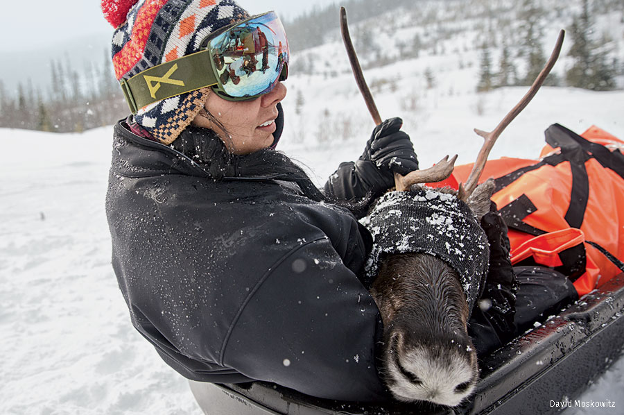 Biologist captures pregnant mountain caribou female for penning and protection