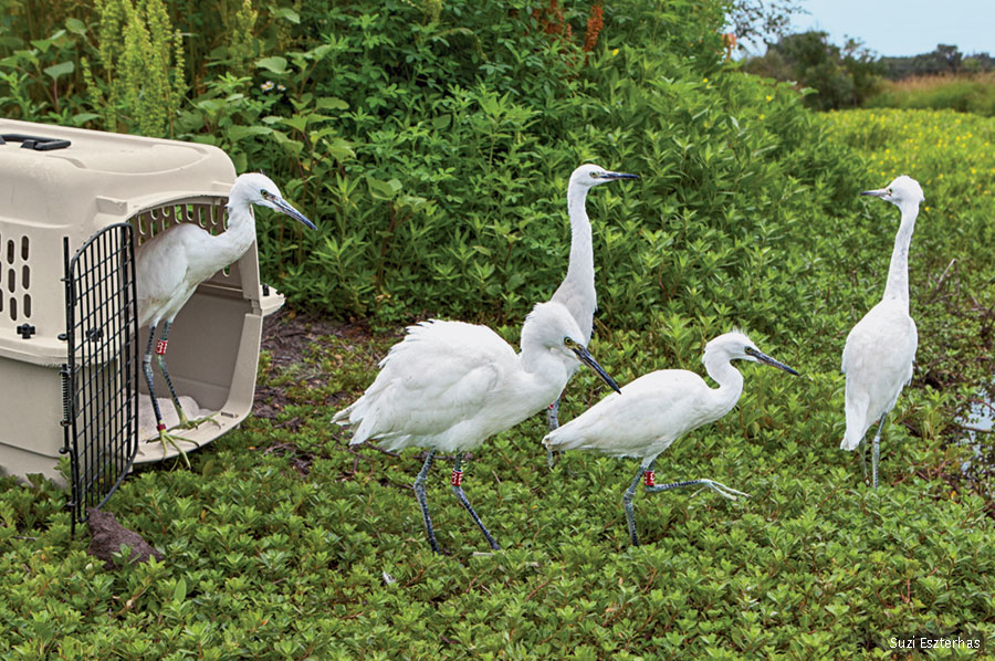 Rehabed snowy egret release