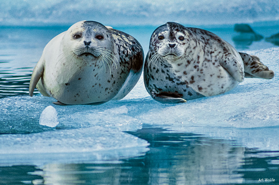 Harbor Seal and Pup in Alaska's Kenai Fjords
