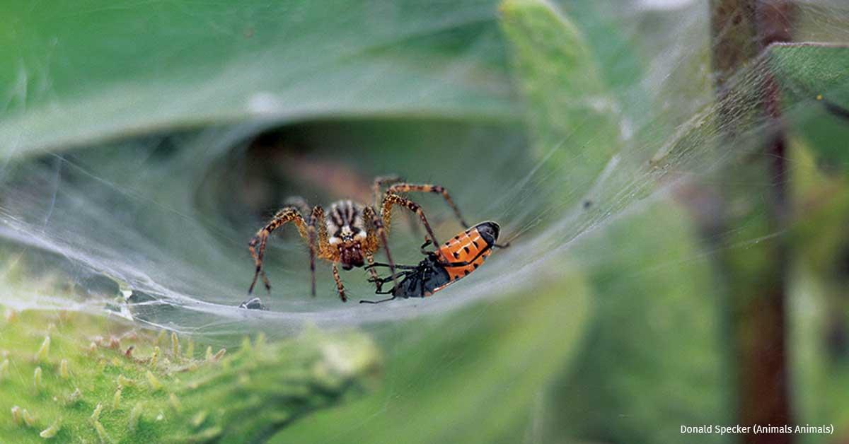 Orb Weaver Spider Ohio ~ Wolf Spider