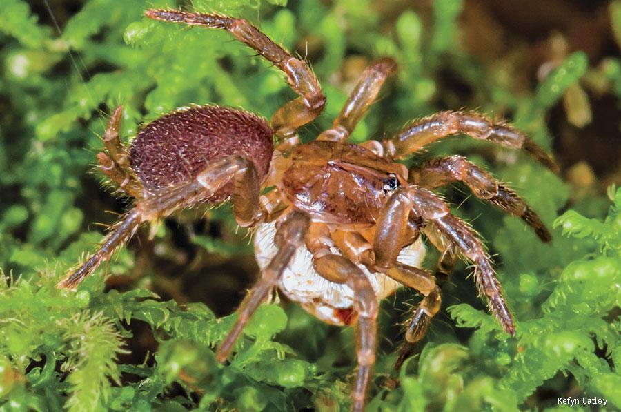 spruce fir moss spider