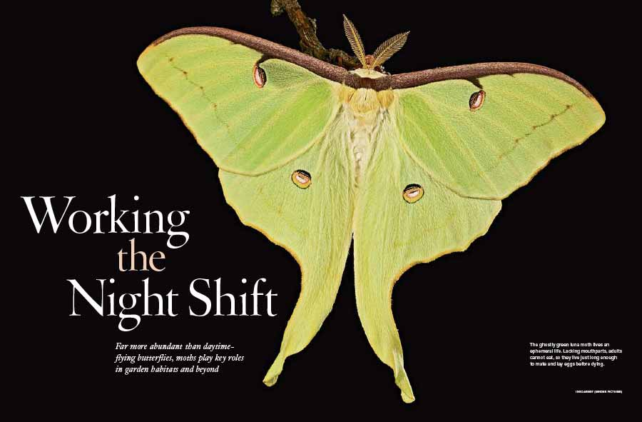 The Ghostly Green Luna Moth Lives An Ephemeral Life Lacking Mouthparts S Cannot Eat So They Live Just Long Enough To Mate And Lay Eggs Before Dying