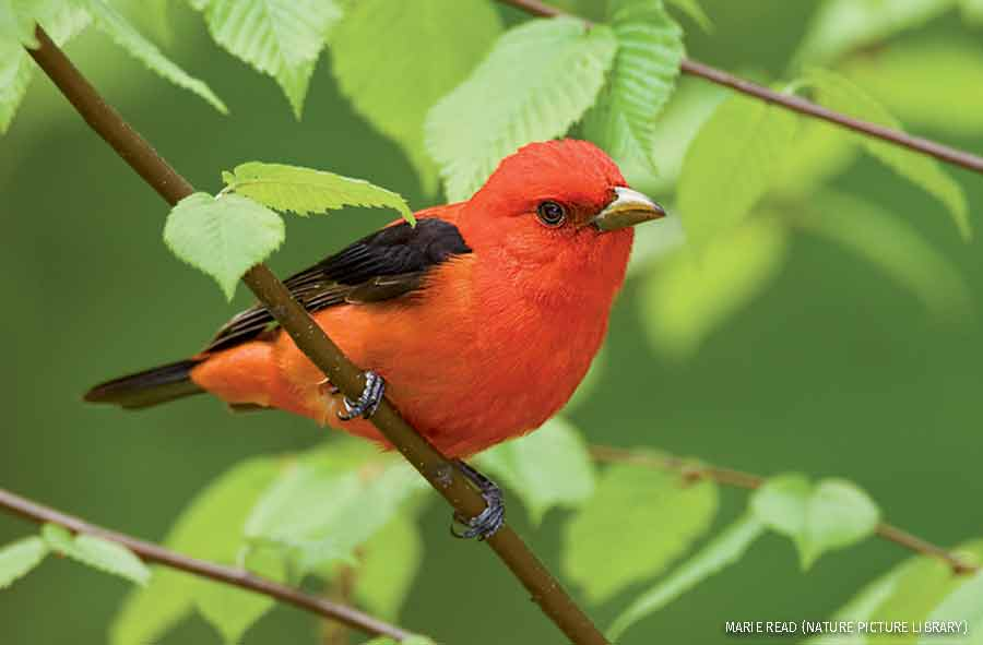 Scarlet Tanager male in breeding plumage perched amid beech leaves