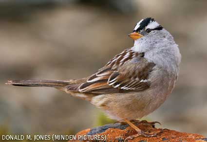 White-crowned Sparrow, western Montana