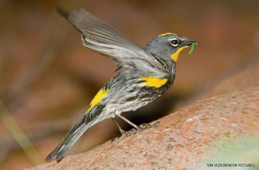 Yellow-rumped Warbler with caterpillar prey