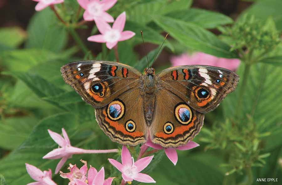 Common Buckeye Butterfly, Kissimmee, Florida