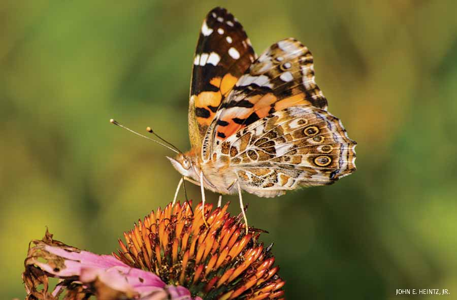 American Painted Lady on Coneflower, Michigan