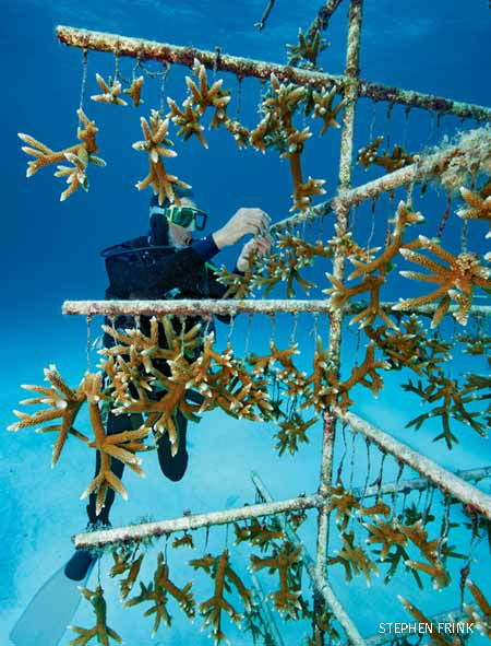 "endangered staghorn coral bits being grown on a ""nursery tree"" for eventual ""outplanting"" to restore damaged reefs"