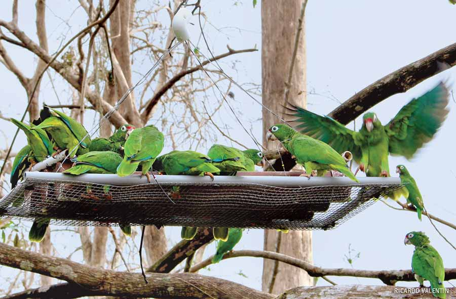 Rare Puerto Rican parrots flocked to a feeding station at the Rio Abajo aviary