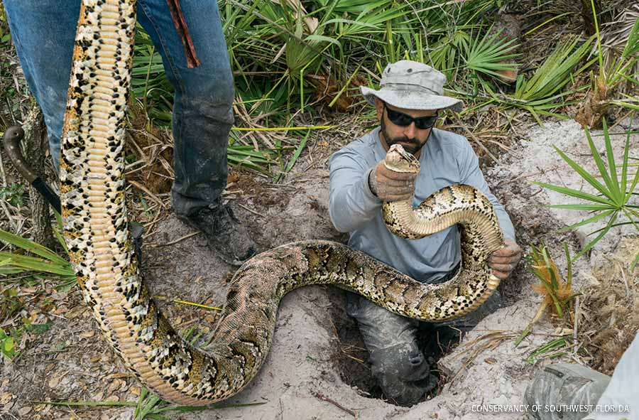 Biologists in Florida remove an invasive Burmese python