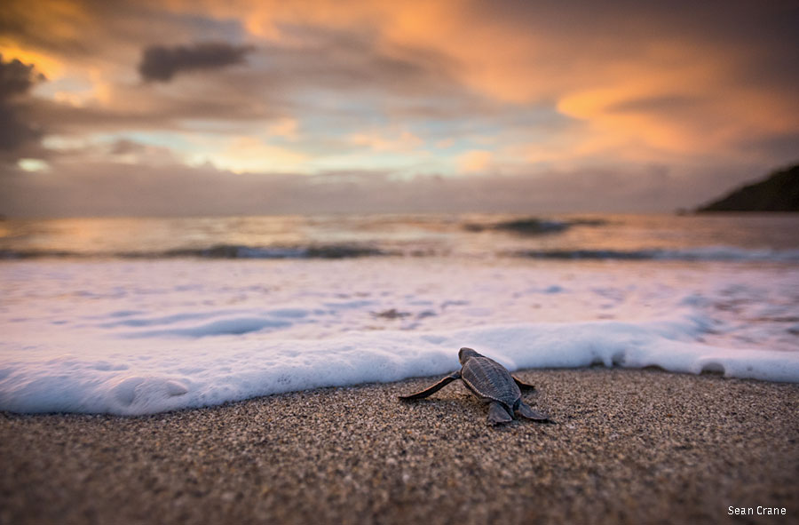 A newly hatched leatherback sea turtle meets the sea at sunset in Trinidad