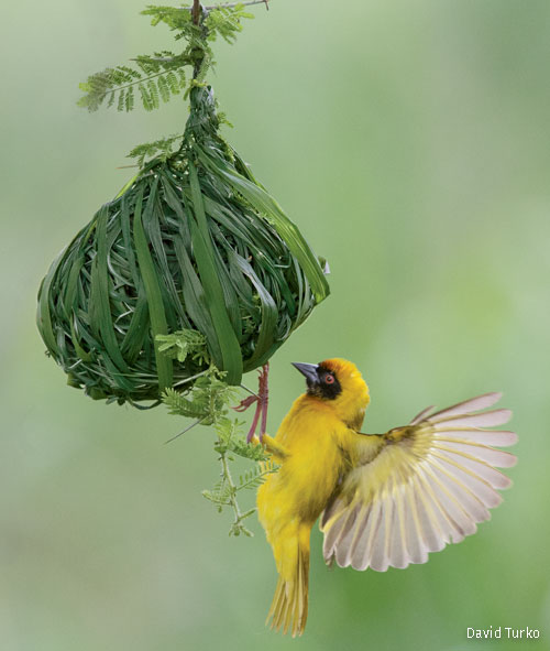 A southern masked weaver adds fresh grass to its dangling nest in Tanzania's Tarangire National Park