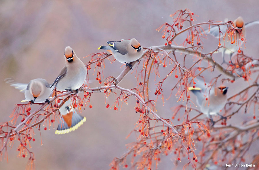Bohemian waxwings cluster on a wintry branch