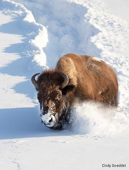 Bison cow plows a path in deep snow
