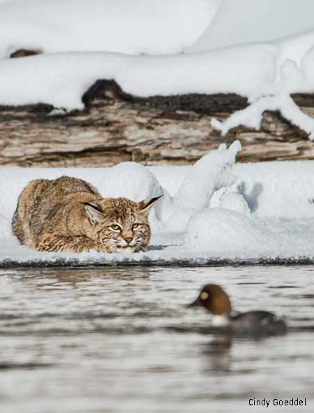 Bobcat crouches patiently on icy bank of Yellowstone's Madison River