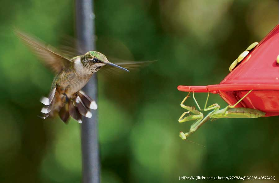 Ruby-throated Hummingbird and praying mantis, Southern Illinois