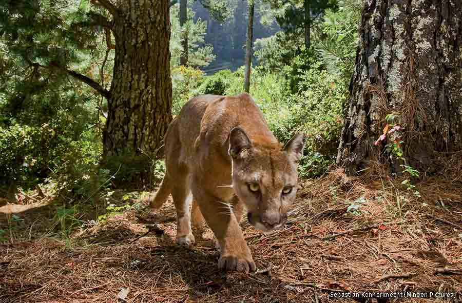 Mountain Lion female approaching, Monterey Bay, California