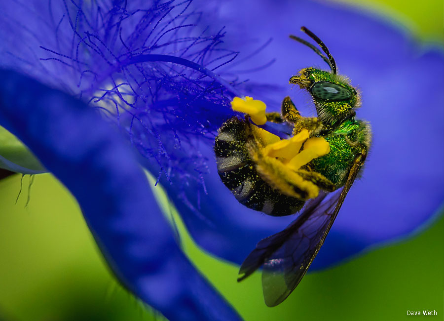 A green sweat bee visiting a spiderwort bloom
