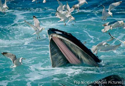 Humpback Whale feeding with Herring Gulls waiting for leftovers