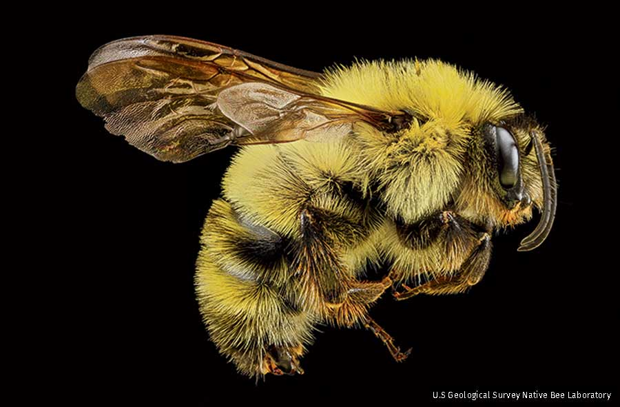 double-spotted bee