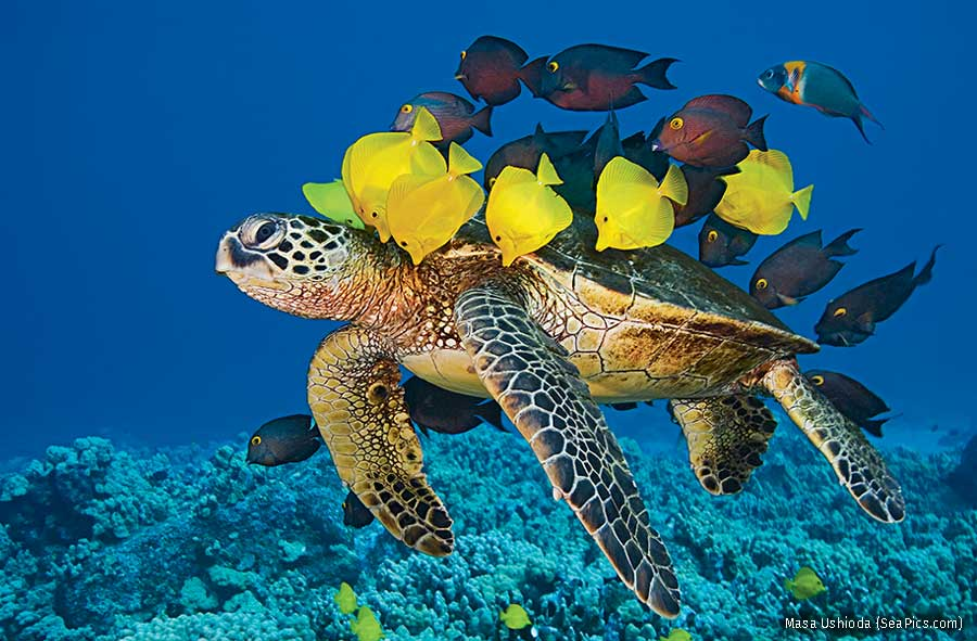 Green Sea Turtle  being cleaned by Yellow Tang and Gold-ring Surgeonfish, Hawaii