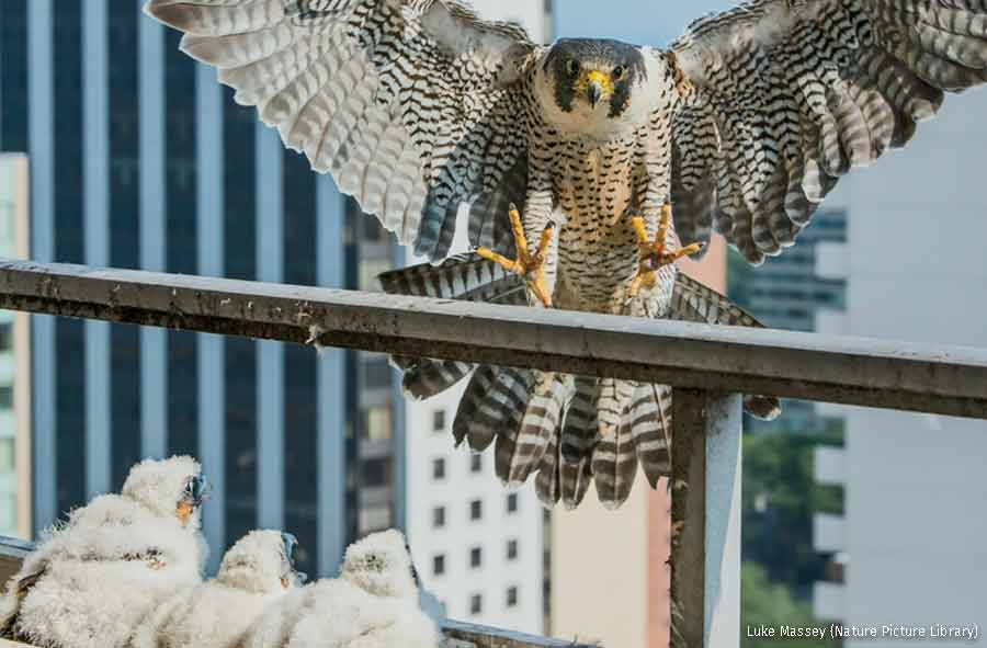 Peregrine Falcon on urban balcony, Chicago