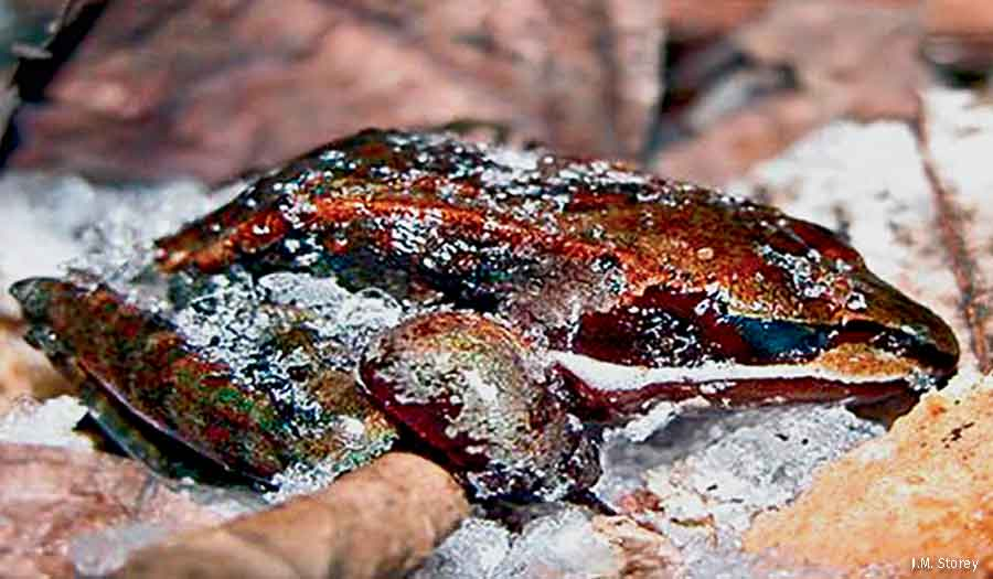 Frozen wood frog
