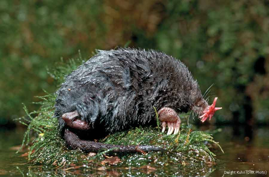 Image result for starnosed mole