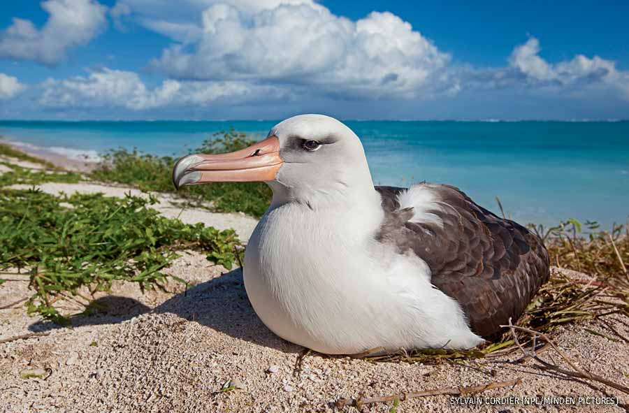 Laysan albatross on nest, Eastern island, Midway Atoll National Wildlife Refuge, Hawaii