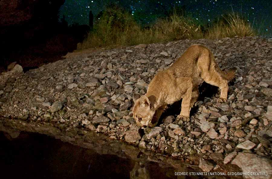 A cougar sips from a stream in Arizona's Organ Pipe Cactus National Monument