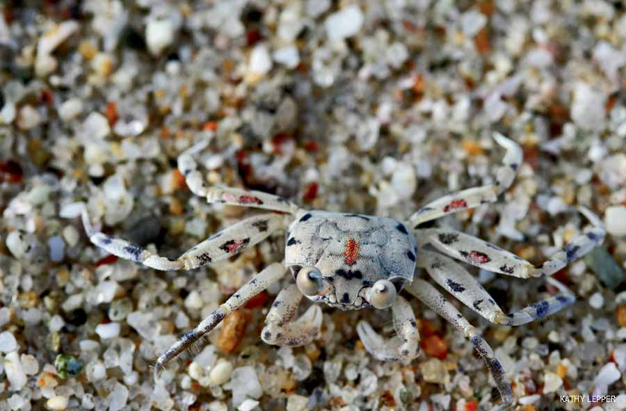 Crab in Puerto Vallarta, Mexico