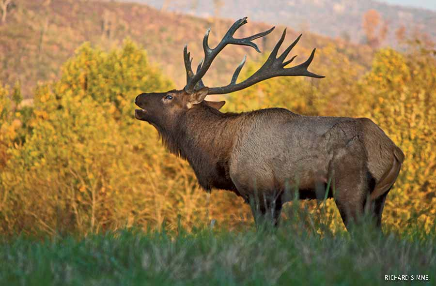 Bugling elk from Tennessee