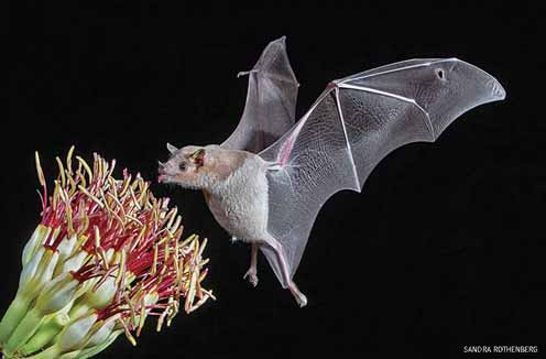 Lesser long nosed bat drinking from Agave flower, Tucson, Arizona.