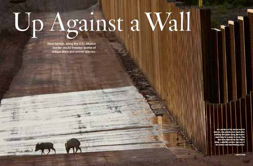 Up Against a Wall Opening Spread, Javalinas up against a wall, Arizona.