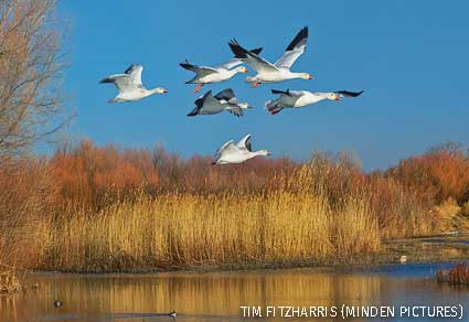 Snow Geese flying over wetland, Bosque del Apache National Wildlife Refuge, New Mexico.