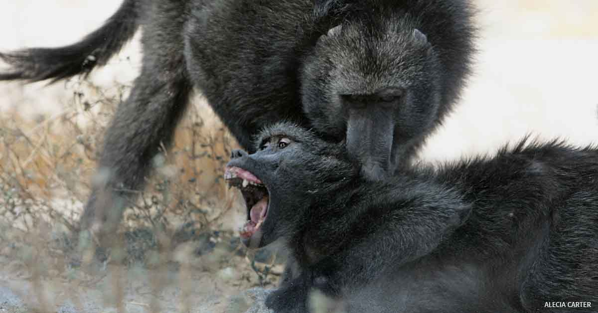 Chacma baboons, Male attacking a female